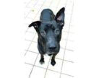 Adopt CARE BEAR a Black - with White Labrador Retriever / German Shepherd Dog /