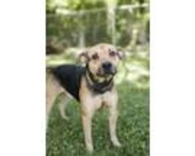 Adopt Mad Max a German Shepherd Dog / American Pit Bull Terrier / Mixed dog in