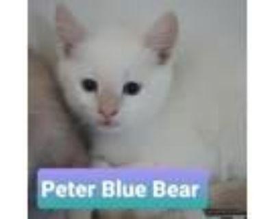 Adopt Peter Blue Bear a Domestic Short Hair, Siamese