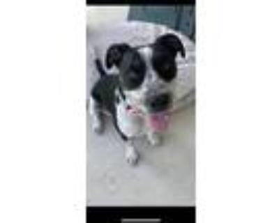 Adopt Oreo a American Staffordshire Terrier, German Shorthaired Pointer