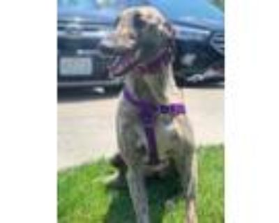 Adopt Thea a Brindle Greyhound / Mixed dog in Independence, MO (31675081)