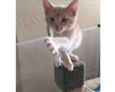 Adopt Finn a Tan or Fawn (Mostly) Domestic Shorthair (short coat) cat in