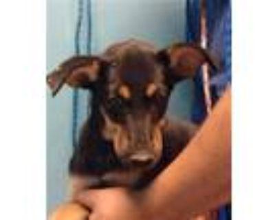 Adopt A575851 a Siberian Husky, Doberman Pinscher