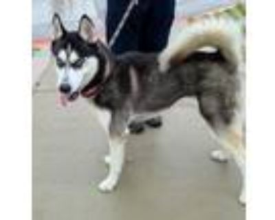 Adopt Bubba a Black Husky / Mixed dog in Fort Worth, TX (31978769)