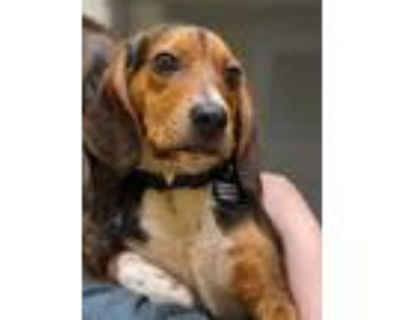 Adopt Little Foot a Brown/Chocolate Beagle / Mixed dog in Norfolk, VA (31503903)
