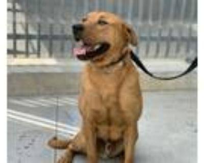 Adopt SCOOBY a Labrador Retriever, Rottweiler