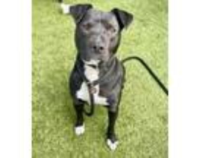 Adopt Tater Tot a Black American Pit Bull Terrier / Mixed dog in Noblesville