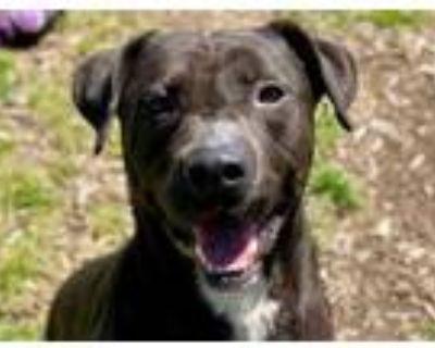 Adopt SHADOW a Labrador Retriever, Mixed Breed