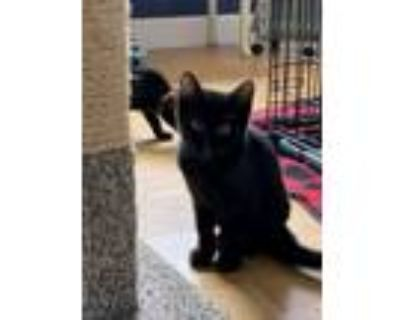 Adopt Righty a Domestic Short Hair