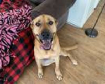 Adopt Laurie a Tan/Yellow/Fawn Labrador Retriever / Mixed dog in Kirtland AFB