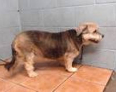 Adopt BELLA a Black - with Tan, Yellow or Fawn Shih Tzu / Terrier (Unknown Type