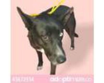Adopt LUNA a Black Blue Heeler / Mixed dog in El Paso, TX (31611455)