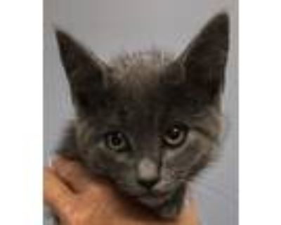 Adopt Ronnie a Gray or Blue Russian Blue (short coat) cat in Hagerstown
