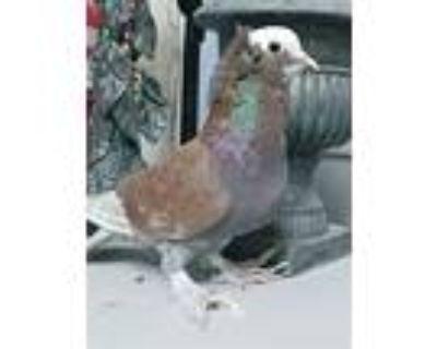 Henri Becquerel, Pigeon For Adoption In Elizabeth, Colorado
