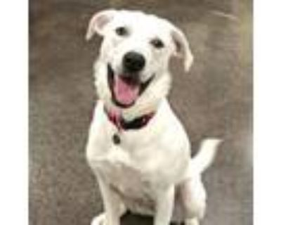 Adopt Candy a Great Pyrenees