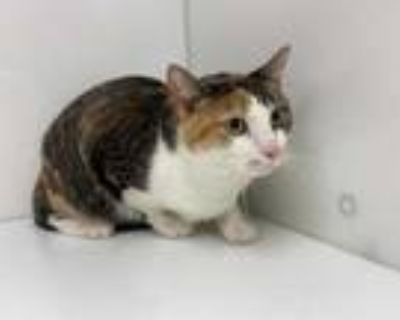 Adopt Kibby a Brown or Chocolate Domestic Shorthair / Mixed cat in Boulder