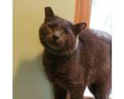 Adopt Charleston Gray a Gray or Blue Domestic Shorthair / Mixed cat in