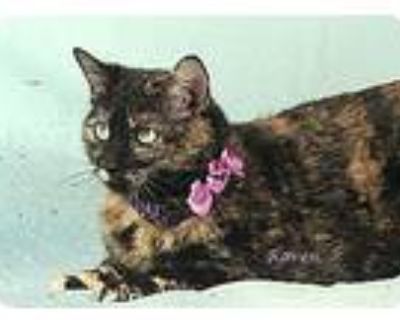 Raven, Domestic Shorthair For Adoption In Kerrville, Texas