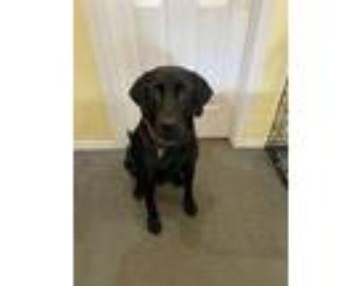 Adopt Goose a Black Labrador Retriever / Mixed dog in Monmouth, OR (31943175)