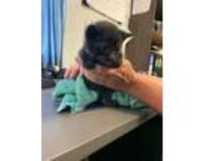 Adopt Poptart a All Black Domestic Shorthair / Domestic Shorthair / Mixed cat in