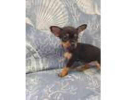 Adopt Francie a Japanese Chin, Yorkshire Terrier
