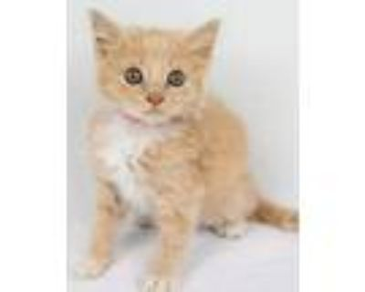Adopt Luther a Domestic Long Hair, Tabby