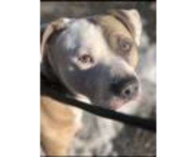 Adopt Zeppoli a White - with Tan, Yellow or Fawn Staffordshire Bull Terrier /