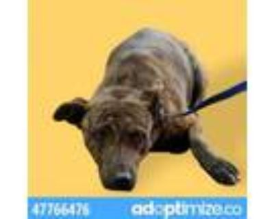 Adopt 47766476 a Pit Bull Terrier, Mixed Breed