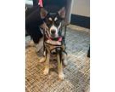 Adopt Calypso a Black - with Tan, Yellow or Fawn Shepherd (Unknown Type) / Mixed