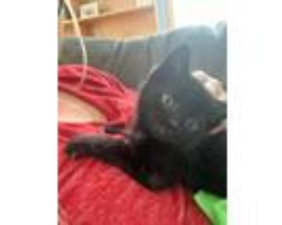 Adopt Little Lady a Domestic Short Hair