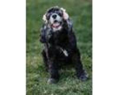 Adopt Petunia a Black Cocker Spaniel / Mixed dog in Albuquerque, NM (31562539)