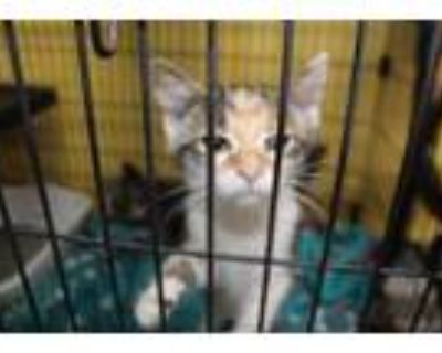 Adopt MYLA a All Black Domestic Shorthair / Domestic Shorthair / Mixed cat in