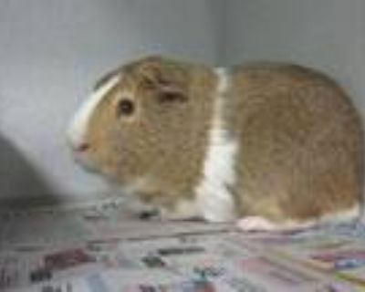 Adopt ANTHONY a Guinea Pig