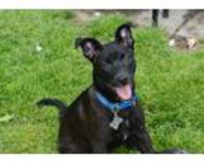 Adopt Java a Black - with White Shepherd (Unknown Type) / Labrador Retriever /