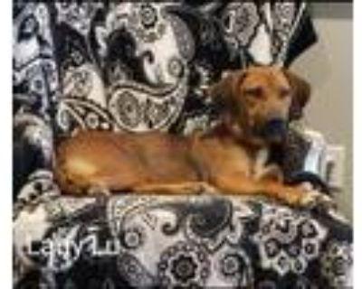 Adopt Lady Lee a Hound, Labrador Retriever