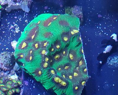 Collector corals