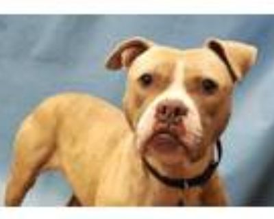 Adopt Chevy a Brindle Boxer / American Pit Bull Terrier / Mixed dog in Golden