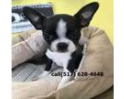 easygoing Boston terrier puppies for sale.healthy, all vacci
