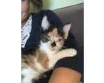 Adopt Tianna a Orange or Red Domestic Shorthair / Domestic Shorthair / Mixed cat