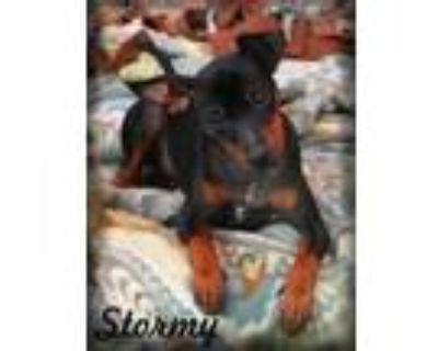 Adopt Stormy a Miniature Pinscher, Yorkshire Terrier