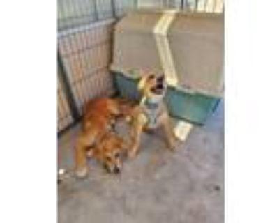 Adopt Banjo a German Shepherd Dog, Labrador Retriever
