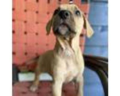 Adopt Fudge a Beagle, Labrador Retriever