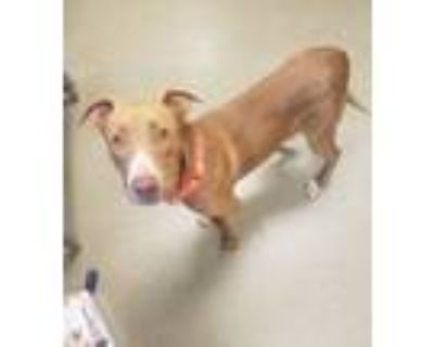Adopt Teddy a American Pit Bull Terrier / Mixed dog in Birdsboro, PA (31207825)
