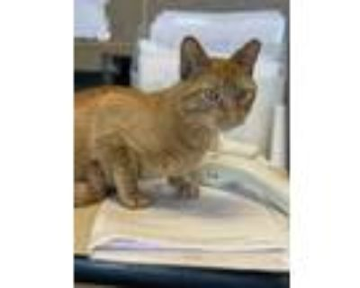 Adopt Rosto a Orange or Red Domestic Shorthair / Domestic Shorthair / Mixed