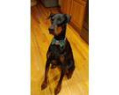 Adopt Kali a Black - with Tan, Yellow or Fawn Doberman Pinscher / Mixed dog in