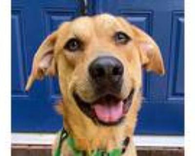 Aster, Labrador Retriever For Adoption In Cumming, Georgia