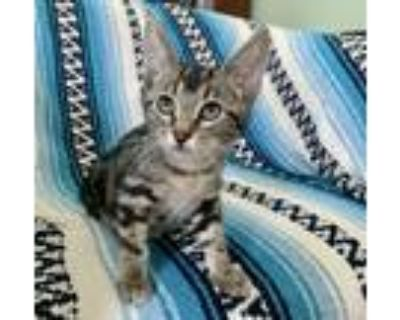 Adopt Speckles a Tabby, Domestic Short Hair
