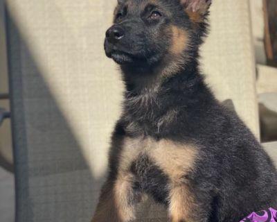 AKC WEST GERMAN SHEPHERD Puppy