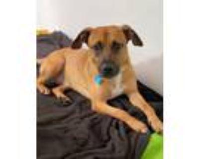 Adopt Archie a Boxer, Labrador Retriever