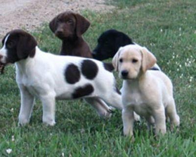 Labrador Hybrid Retriever Puppies